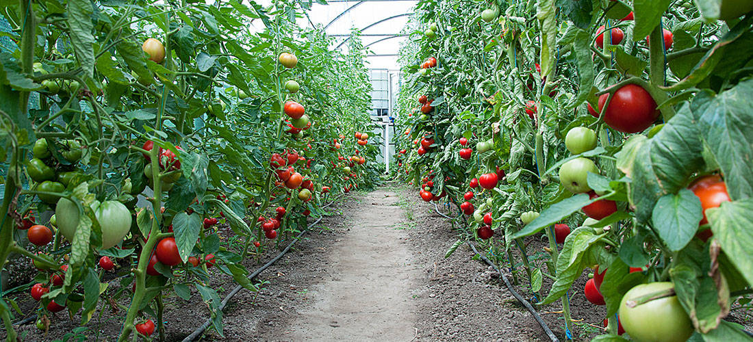 russias-dependence-on-greenhouse-vegetables-from-the-eu-has-an-expiration-date